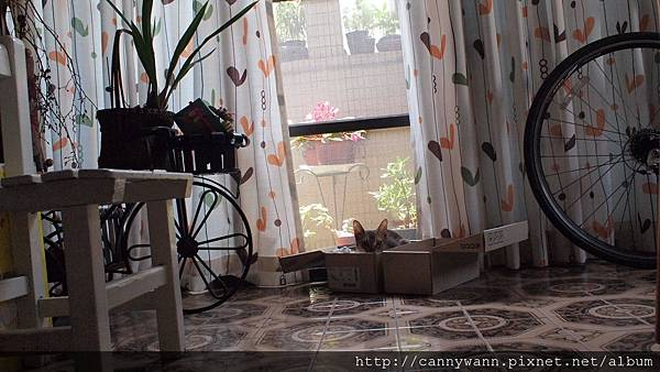 春天陽光午後的貓咪~阿比西尼亞