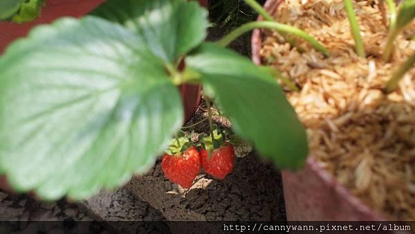 自己種的草莓收成了