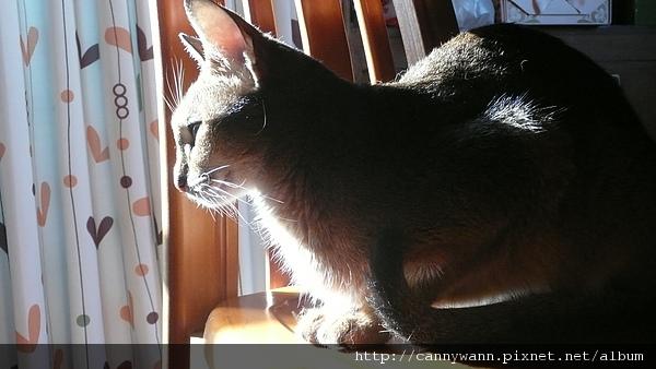 優雅如芭蕾舞者的貓咪~阿比西尼亞貓 (9).JPG