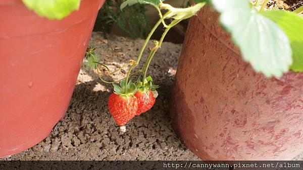 20110411收成雙草莓.JPG