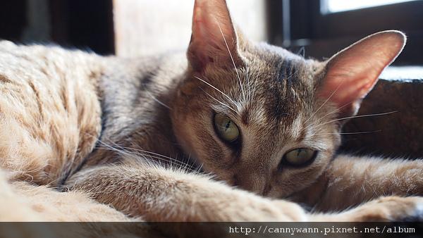 優雅如芭蕾舞者的貓咪~阿比西尼亞貓 (5).JPG