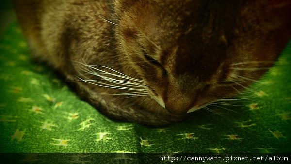 窩在綠色墊子上的貓咪