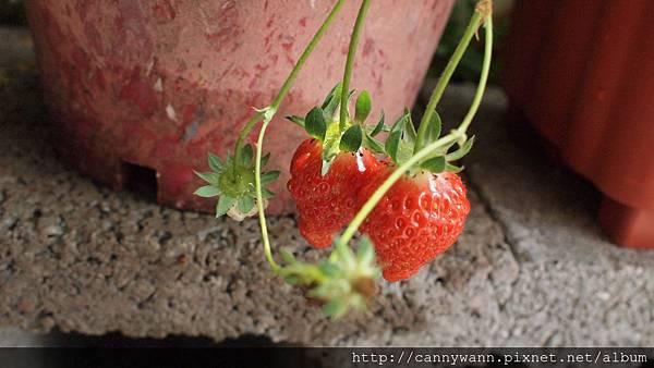 20110411收成雙草莓 (3).JPG