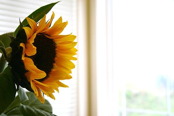 後院唯一一朵向日葵