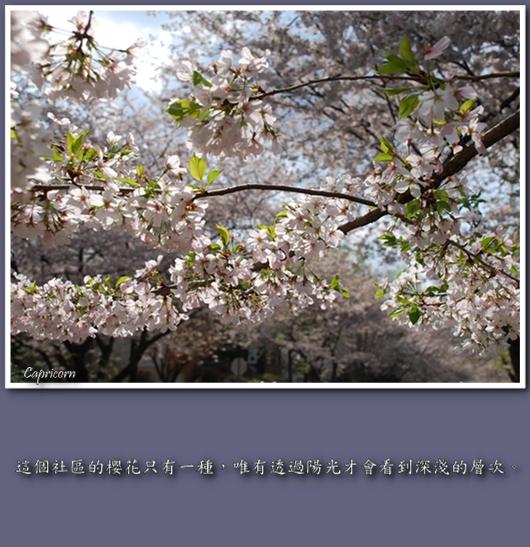 Watts Branch Cherry Blossom