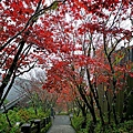 42-3 太平山莊 紫葉槭.jpg