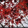 42-4 太平山莊 紫葉槭.jpg
