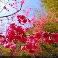 09 櫻花近拍.jpg