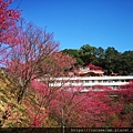 12 櫻花.jpg