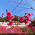 11 櫻花.jpg