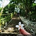 11 飛鳳山步道 油桐花.jpg