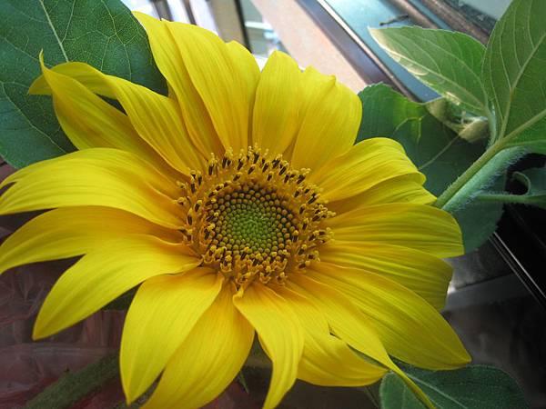 我最愛的向日葵
