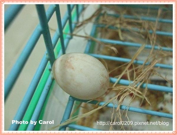 滷蛋生的蛋1