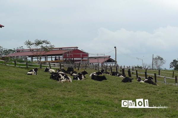 這些牛 好懶 都躺著不動!