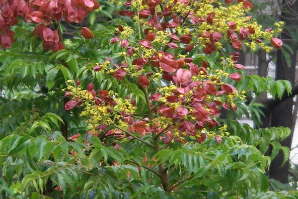 台灣欒樹黃花紅果2.png