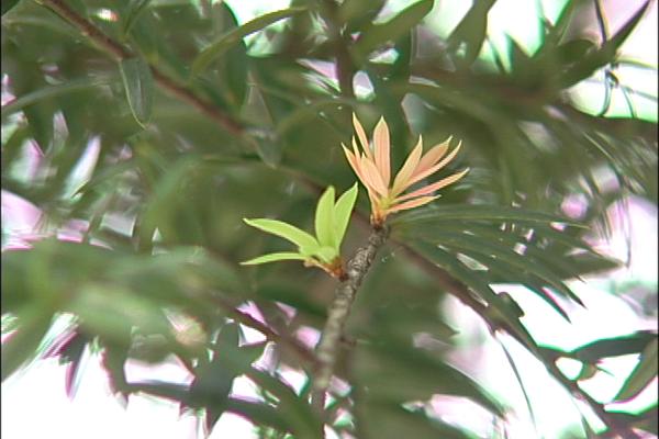 台灣油杉1.png