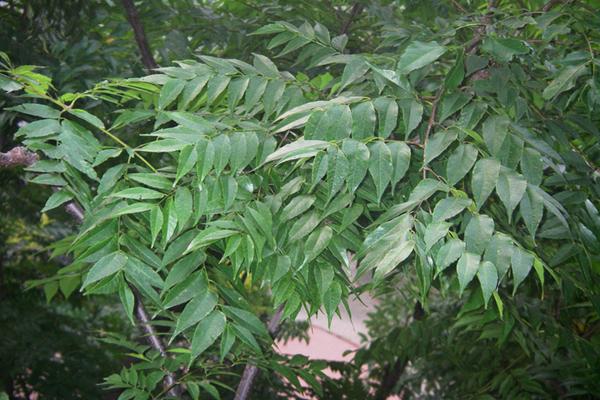 台灣欒樹綠葉.png