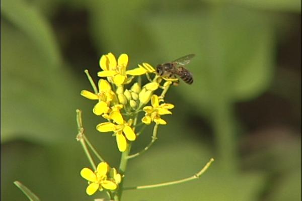 蜜蜂採花.png