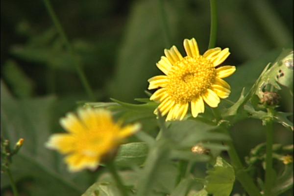 黃菊花.png