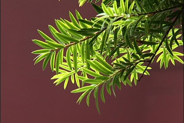 台灣油杉葉.png