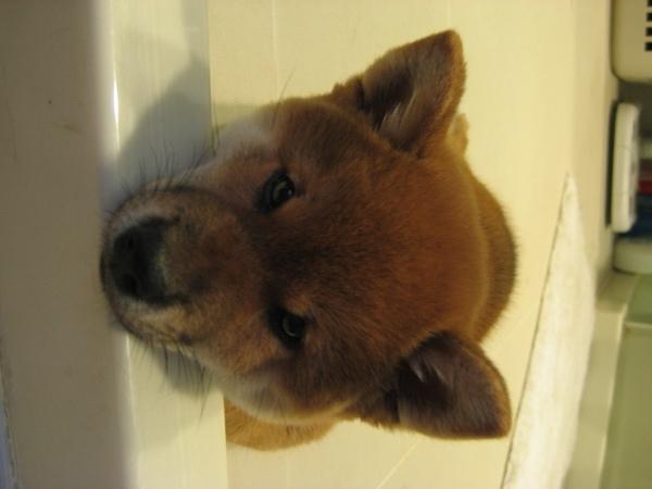 2個多月大的尖耳朵像狐狸