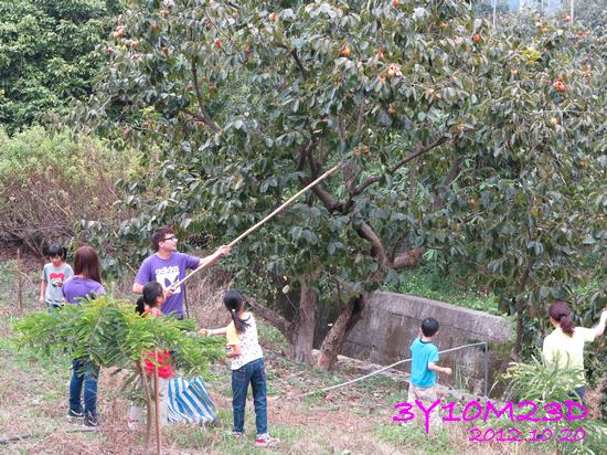 3Y10M23D-1採柿子-11