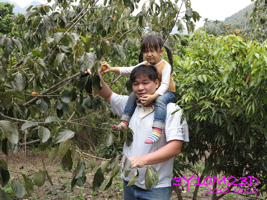 3Y10M23D-1採柿子-15