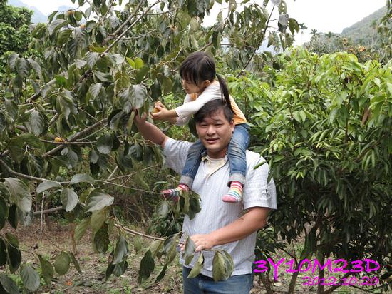 3Y10M23D-1採柿子-16