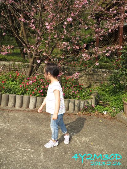 4Y02M30D-石碇賞櫻03.jpg