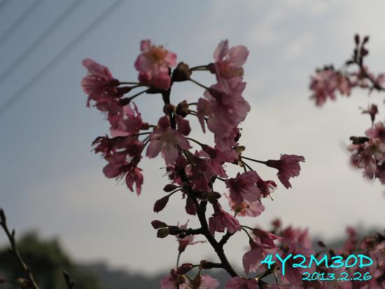 4Y02M30D-石碇賞櫻04.jpg