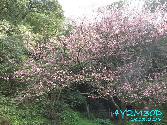 4Y02M30D-石碇賞櫻10.jpg