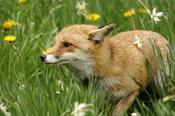 狐狸與我2.jpg