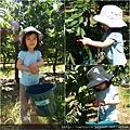 2010_12 採櫻桃