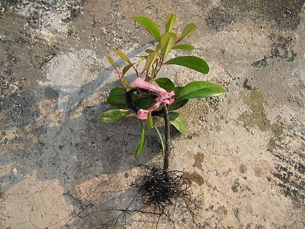 象牙樹__不需要土了