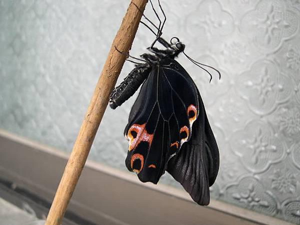 980611枯葉色的蛹.JPG