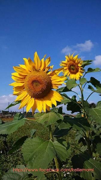 大溪太陽花