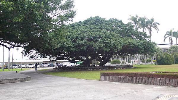 泰安夫妻樹