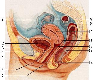 女性骨盆腔側面剖面圖.png
