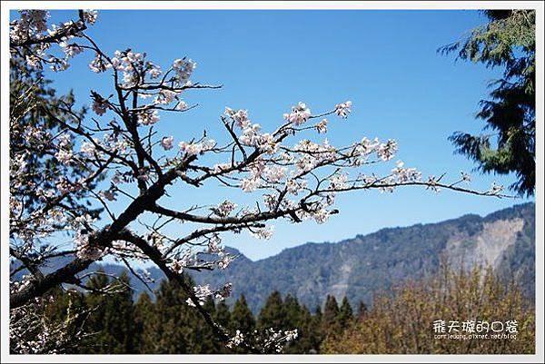 Ali Mountain Sakura (12)