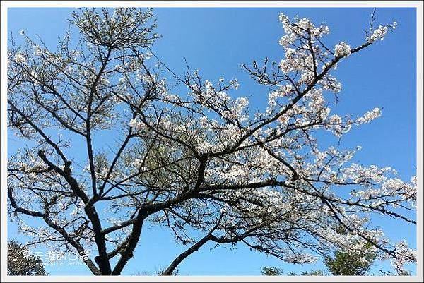 Ali Mountain Sakura (14)