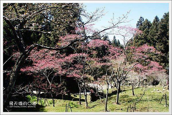 Ali Mountain Sakura (42)
