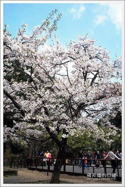 Ali Mountain Sakura (70)