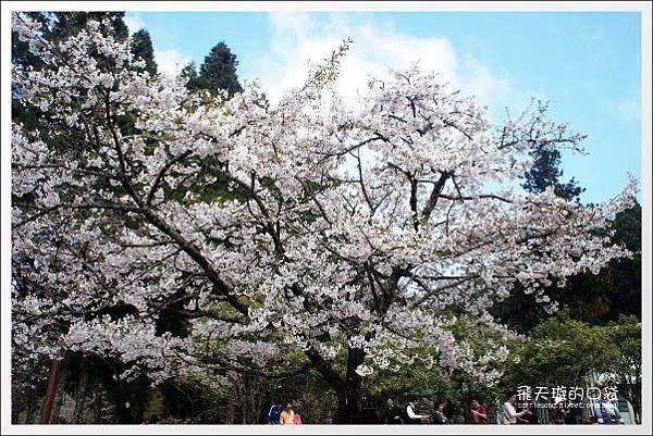 Ali Mountain Sakura (72)