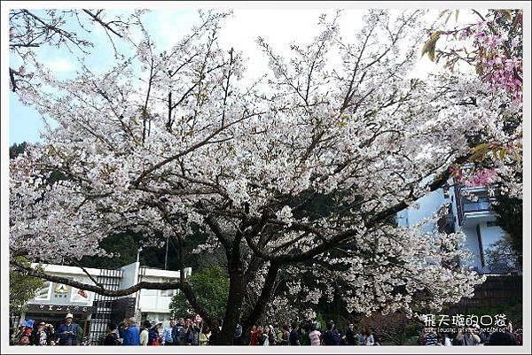 Ali Mountain Sakura (75)