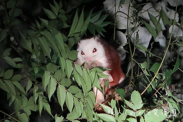 【嘉義竹崎】光華頂笨仔~白面鼯鼠‧螢光蕈‧螢火蟲‧內政部評選五星級生態旅遊