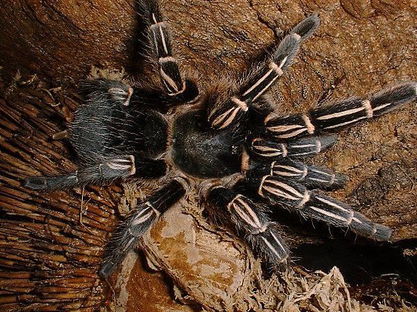 哥斯大黎加班馬腳(Aphonopelma seemanni)