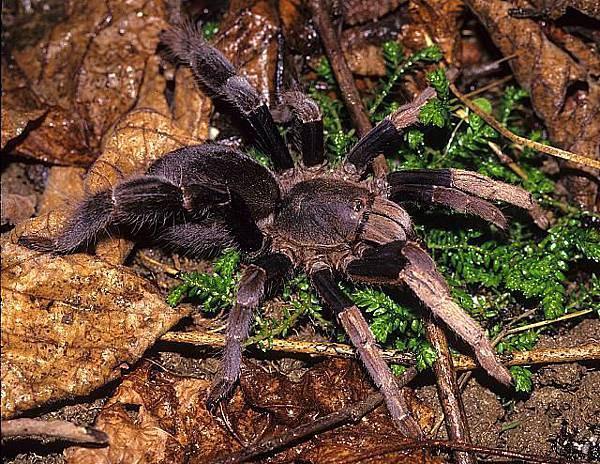 馬來西亞粗腿(Lyrognathus robustus)