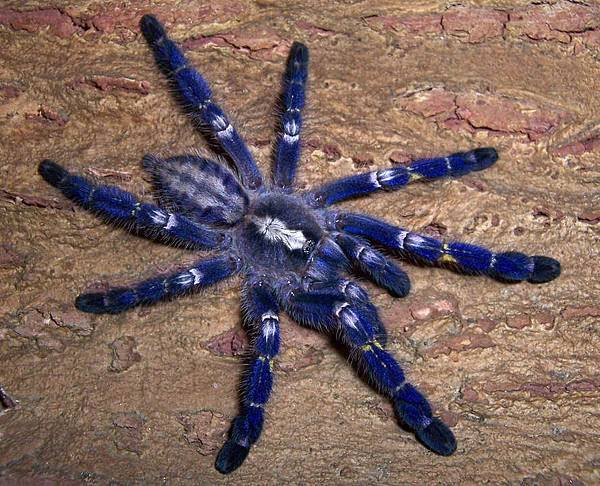 藍寶石華麗雨林(Poecilotheria metallica).jpg