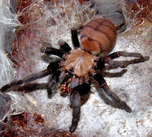 印度地老虎(Chilobrachys fimbriatus).jpg