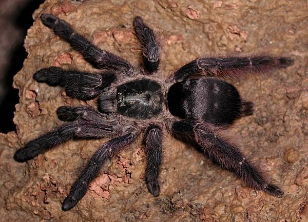蘇里南樹蜘蛛(Tapinauchenius plumipes).jpg